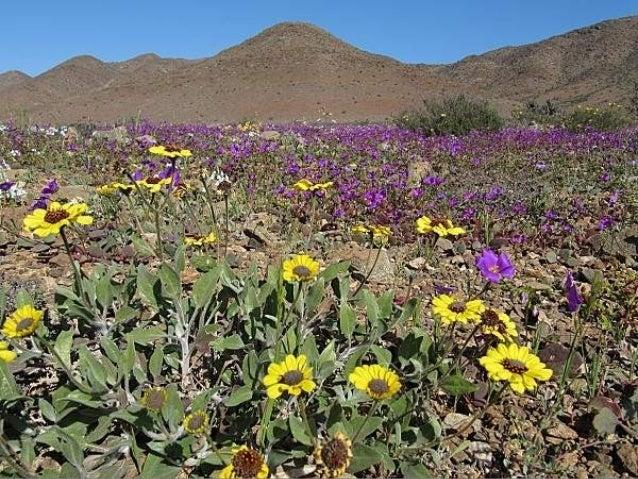 En une année humide, le désert devient une mer, une mer de fleurs. Cet événement curieux de climat est nommé Niño-oscillat...
