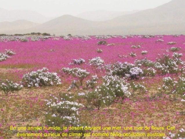 Le phénomène du désert fleuri provoque un fort impact sur le système écologique de la région. Lors de cet événement, cela ...
