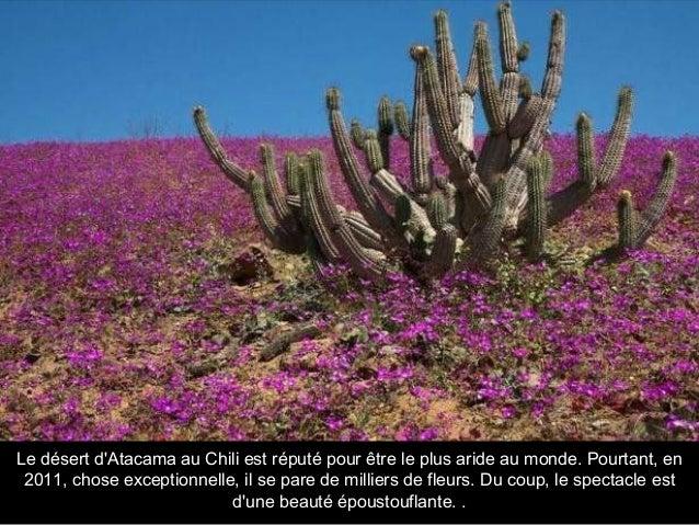 Le désert d'Atacama au Chili est réputé pour être le plus aride au monde. Pourtant, en 2011, chose exceptionnelle, il se p...