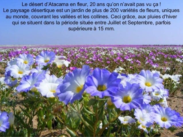 Le désert d'Atacama en fleur, 20 ans qu'on n'avait pas vu ça ! Le paysage désertique est un jardin de plus de 200 variétés...