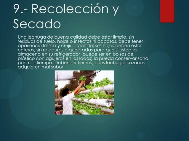 9.- Recolección y Secado Una lechuga de buena calidad debe estar limpia, sin residuos de suelo, hojas o insectos ni babosa...