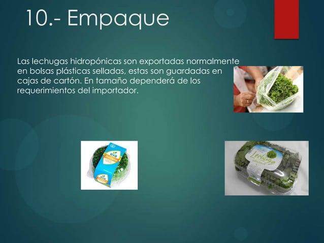 10.- Empaque Las lechugas hidropónicas son exportadas normalmente en bolsas plásticas selladas, estas son guardadas en caj...