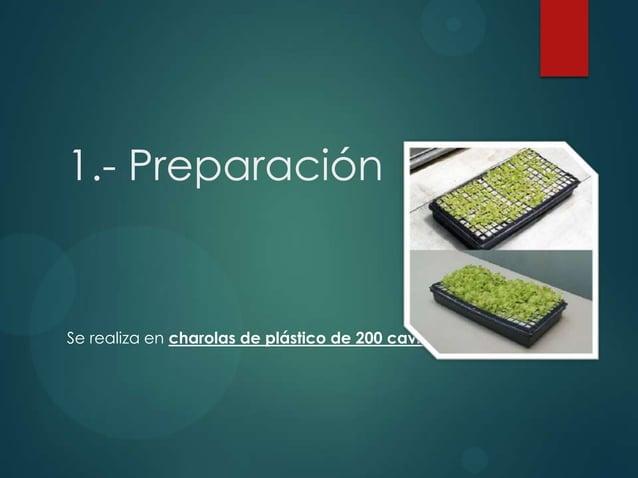 1.- Preparación Se realiza en charolas de plástico de 200 cavidades.