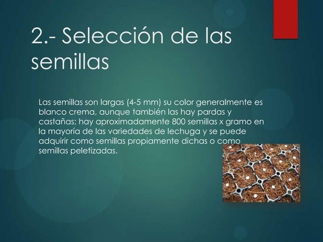 2.- Selección de las semillas Las semillas son largas (4-5 mm) su color generalmente es blanco crema, aunque también las h...