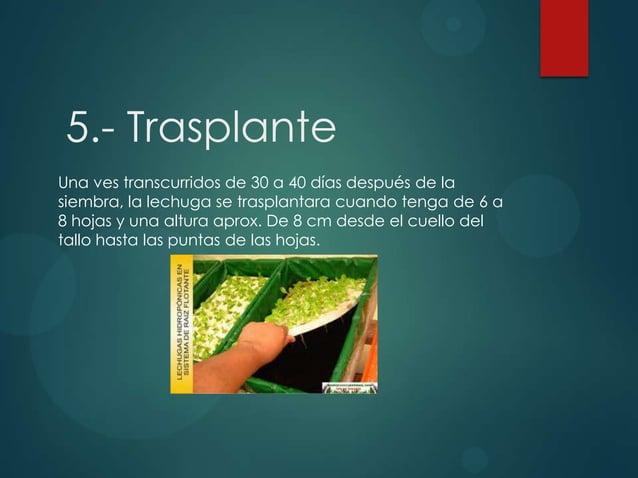 5.- Trasplante Una ves transcurridos de 30 a 40 días después de la siembra, la lechuga se trasplantara cuando tenga de 6 a...