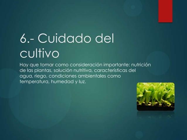 6.- Cuidado del cultivo Hay que tomar como consideración importante: nutrición de las plantas, solución nutritiva, caracte...