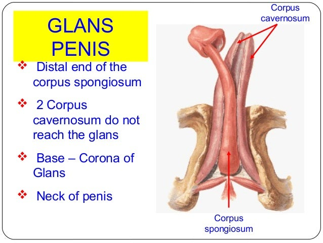 Corona Of The Glans Penis