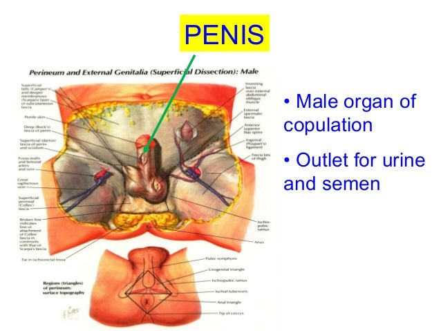 Male organ images