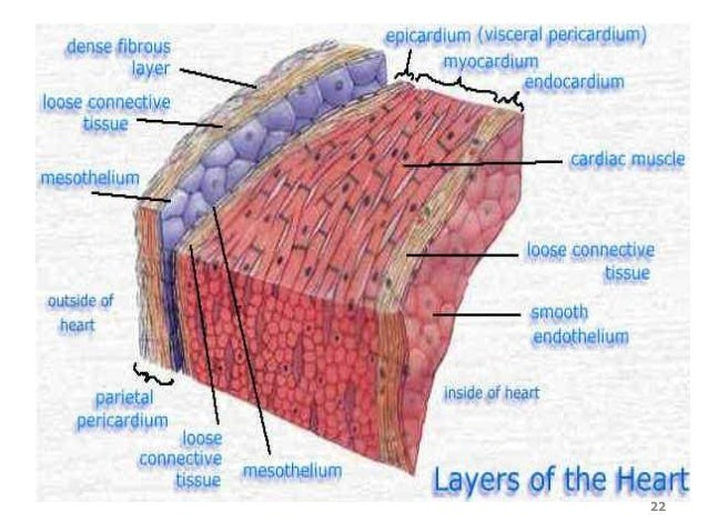 cardiovascular system, Muscles