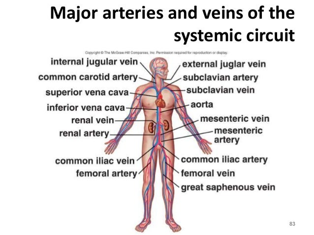Major Arteries Of The Systemic Circulation Diagram Download Wiring