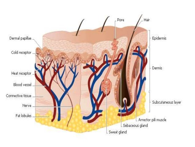 Lect 2 integumentary system