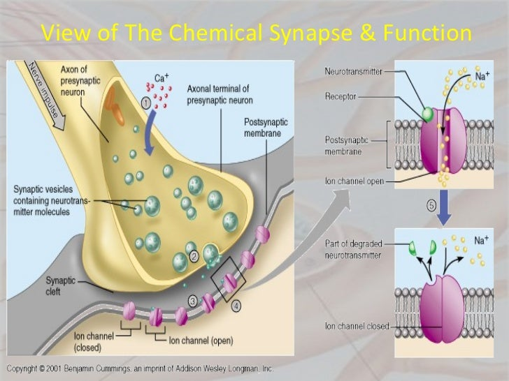 evaluate the role of chemical transmitters Chemical •at the chemical level, the key players include integral membrane  proteins that control  neurotransmitter receptor/ion channel  that defines  their function nachr  •best tool is to vary structure and evaluate how that  impacts.
