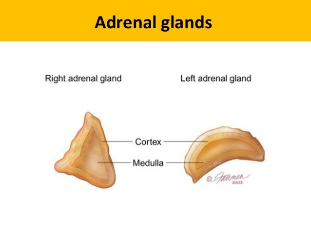Image result for right and left suprarenal gland difference