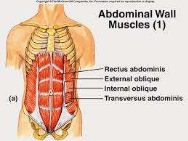 Lect 1 anterior abdominal wall 21 ccuart Gallery