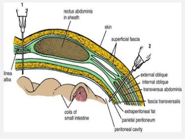 Anatomy abdominal wall