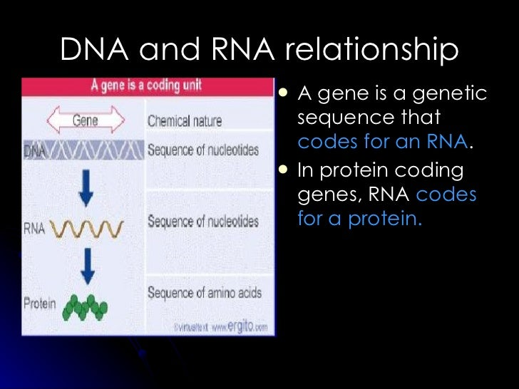 DNA and RNA relationship <ul><li>A gene is a genetic sequence that  codes for an RNA . </li></ul><ul><li>In protein coding...