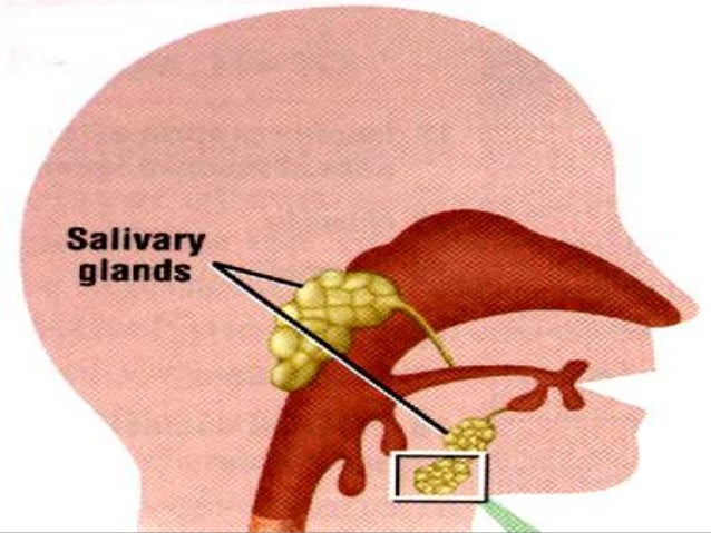 Lecture 1 salivary glands