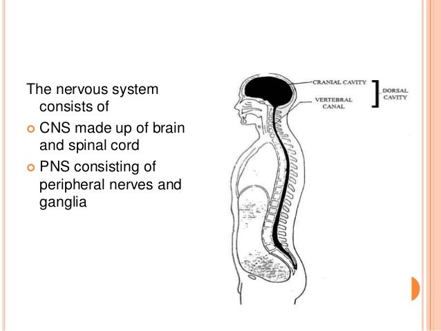 an introduction to the central nervous system Introduction 138 211 anatomy of the lymphatic and immune systems  identify the anatomical and functional divisions of the nervous system  in the central .
