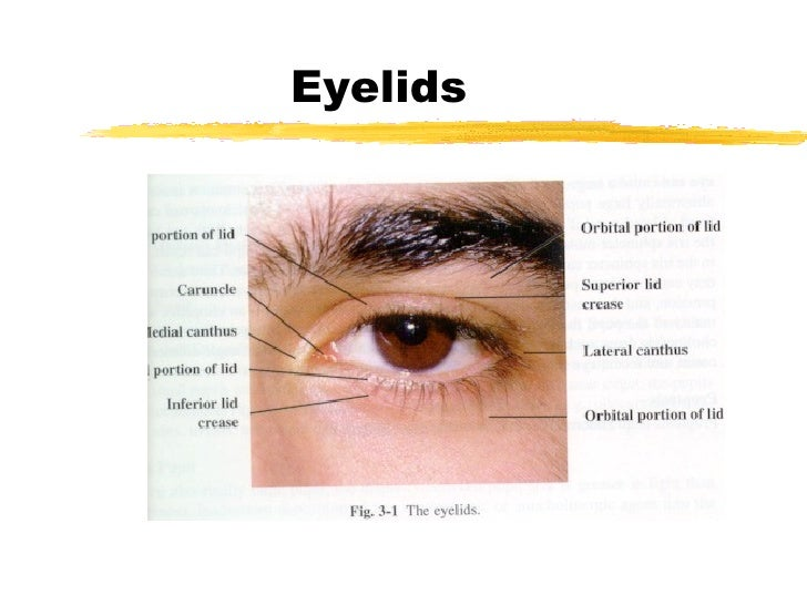 Lecture1 Anatomy Of The Eye