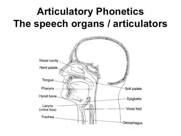articulatory phonetics Articulatory phonetics definition, the branch of phonetics dealing with the motive  processes and anatomy involved in the production of the sounds of speech.