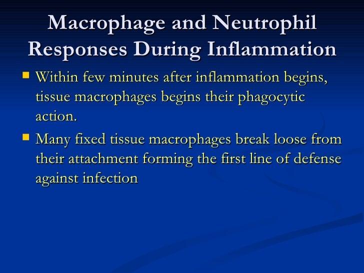 <ul><li>Within few minutes after inflammation begins, tissue macrophages begins their phagocytic action. </li></ul><ul><li...