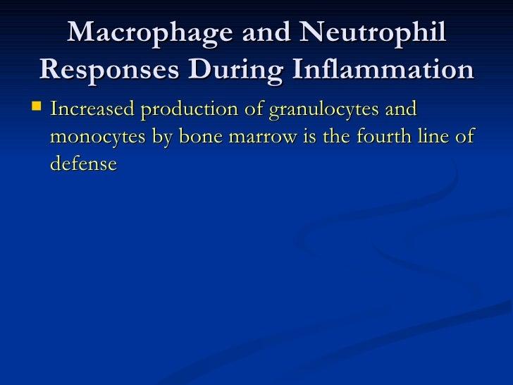 <ul><li>Increased production of granulocytes and monocytes by bone marrow is the fourth line of defense </li></ul>Macropha...