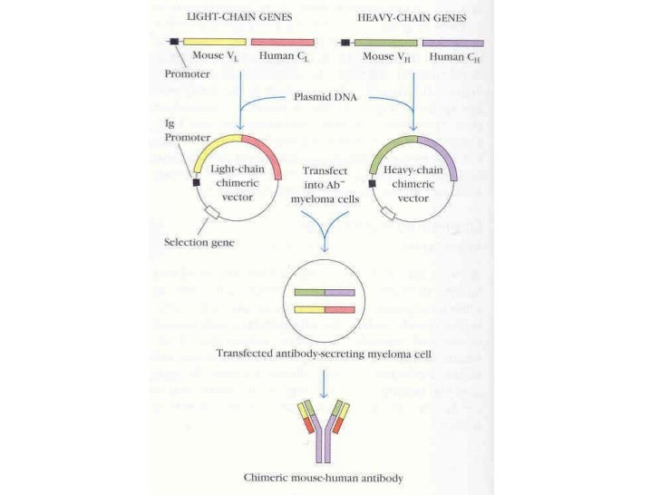Lecture 10 hybridomas and the production of antibodies
