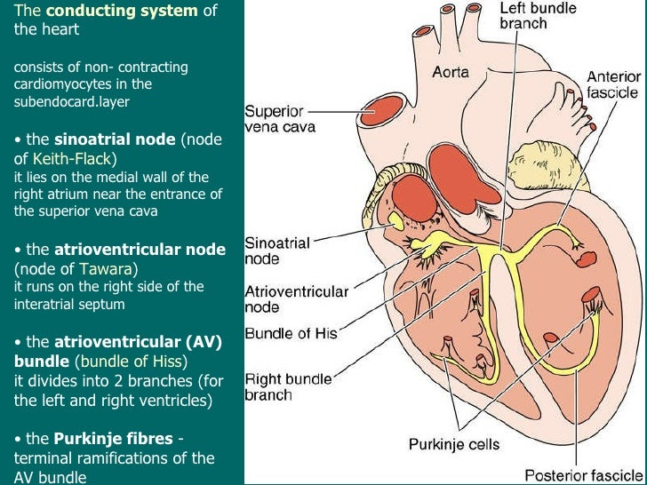 Lecture10 Microscopic Anatomy And Embryology Of The Cardiovascular
