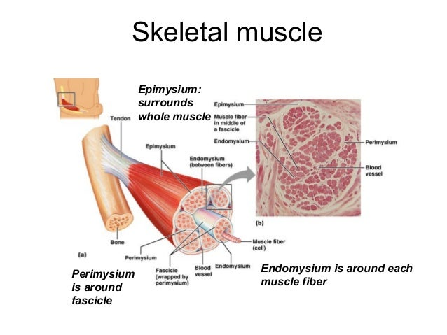 lecture 10 muscle histology, Muscles