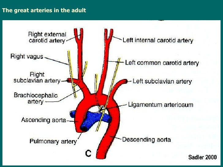 Great vessel anatomy