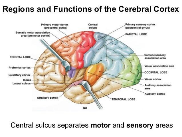 Cerebral cortex senses diagram diy enthusiasts wiring diagrams lecture12 2 13 rh slideshare net cerebral cortex function cerebral cortex brain ccuart Choice Image