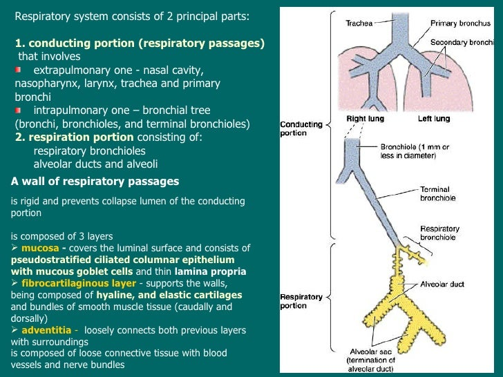 Lecture13 microscopic structure of the respiratory