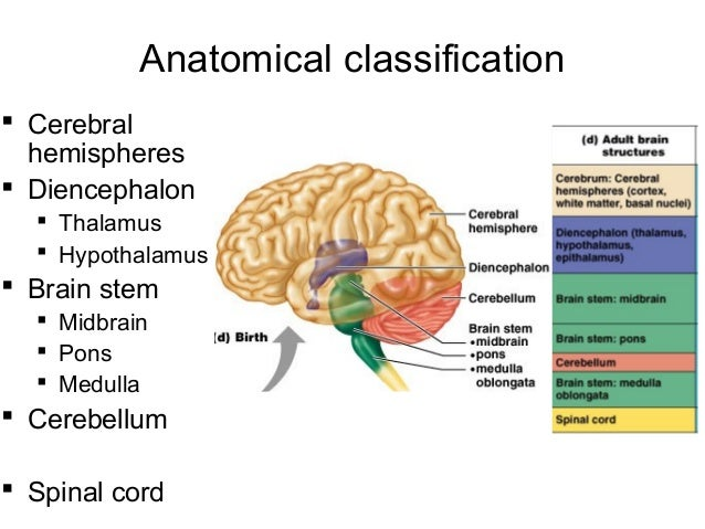 Lecture 19 central nervous system a folds and wrinkles 18 ccuart Images