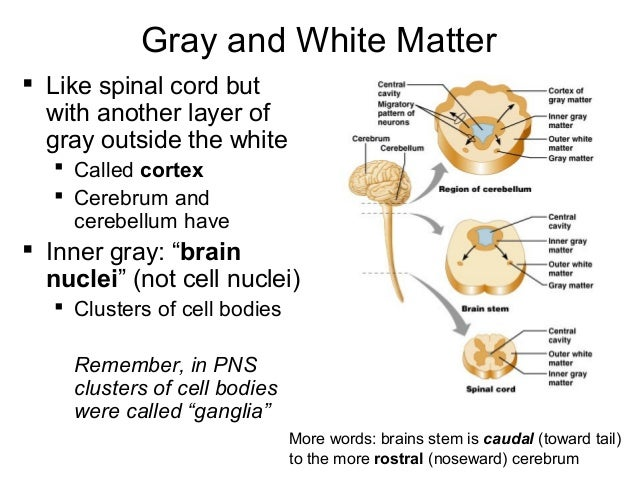 Gray and White Matter ...