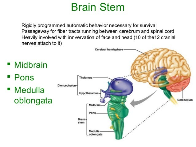 Lecture 19 central nervous system (a)
