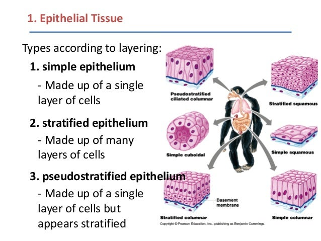 Lecture 1 animal cell types and tissues