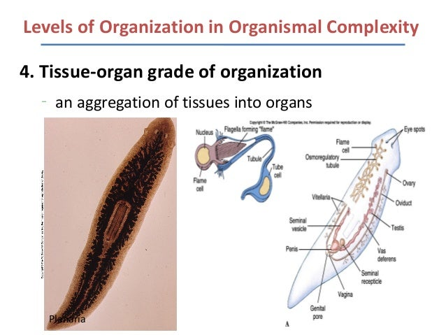 Organization Of Life Foldable besides 5246636 together with 574560864930327262 in addition Lecture 1 Animal Cell Types And Tissues further View. on animal organ systems