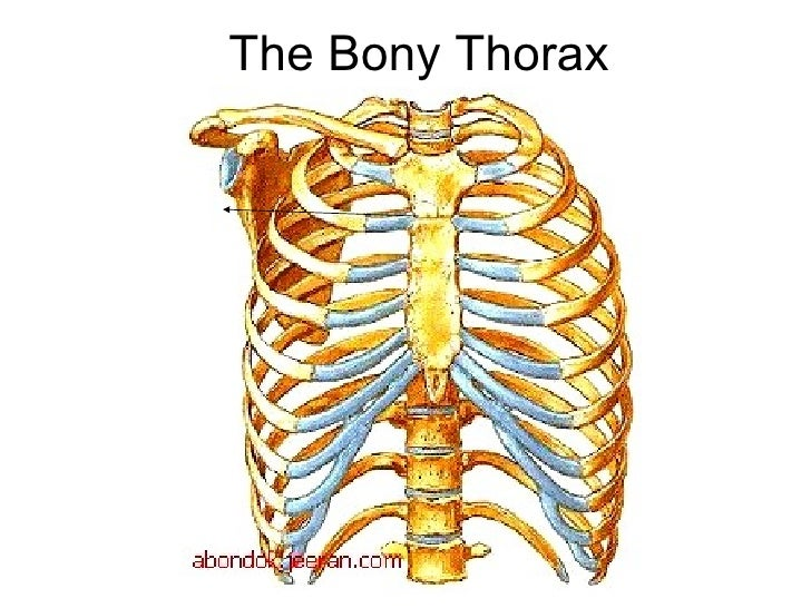 Lecture 1 thoracic wall