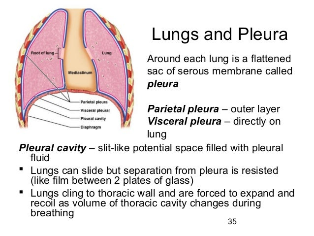 Pericardial furthermore Rongga pleura furthermore Lecture 21 Respiratory System 36180744 additionally Body cavities as well 6374053. on parietal pleural serous membrane