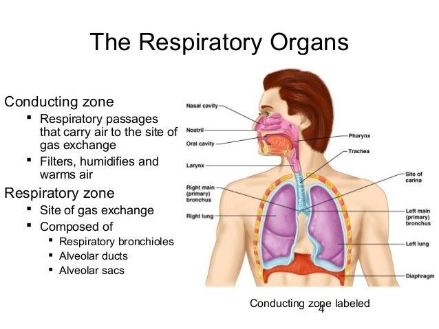 Free Worksheets energy conversion worksheet : respiratory system