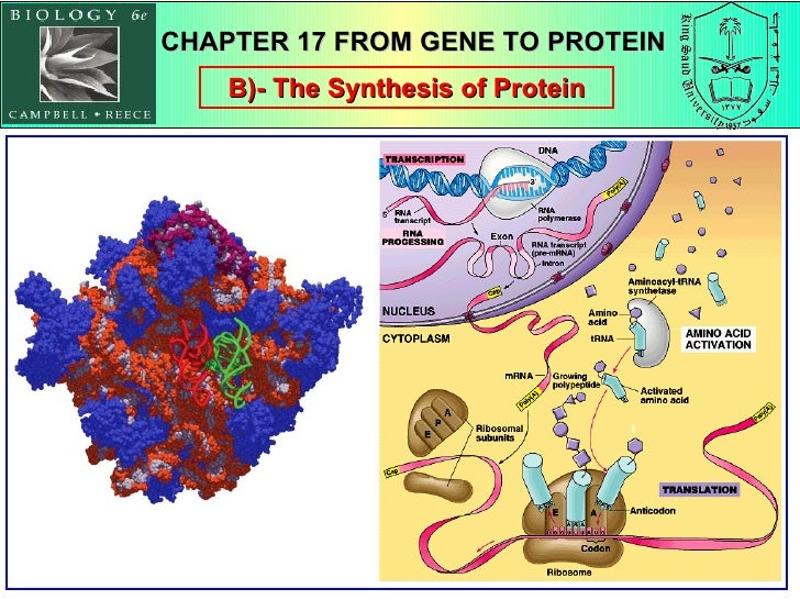 B)- The Synthesis of Protein CHAPTER 17 FROM GENE TO PROTEIN