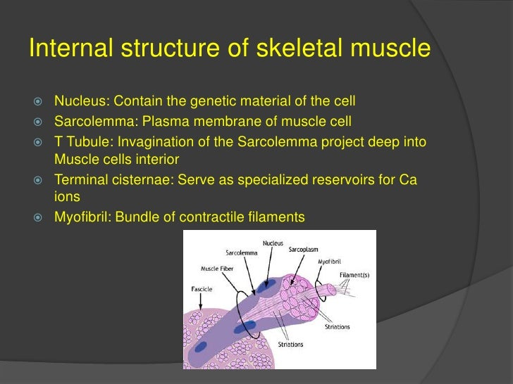 Internal structure of skeletal muscle<br />Nucleus: Contain the genetic material of the cell<br />Sarcolemma: Plasma membr...