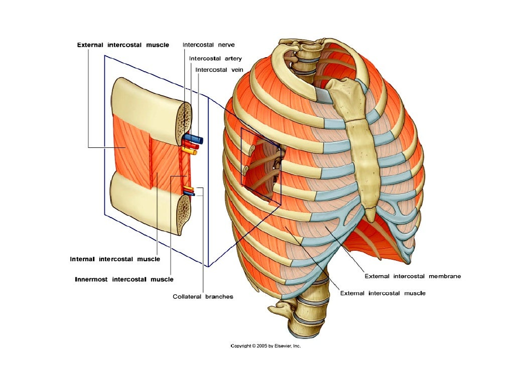 Lecture 2 thoracic wall diaphragm intercostal muscle 4 ccuart Choice Image
