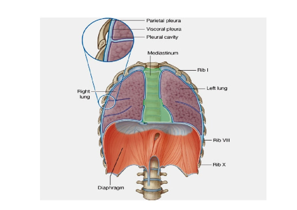 Lecture 2 Thoracic Wall Diaphragm