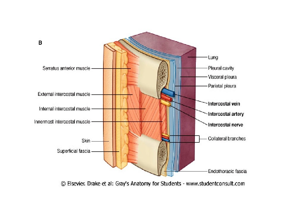 Lecture 2 thoracic wall & Diaphragm