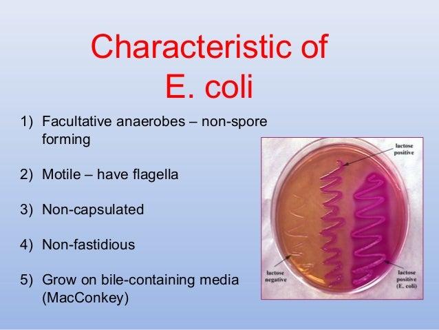 What are the characteristics of Escherichia coli bacteria?