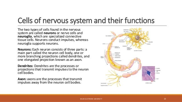 what are three types of neurons and their functions