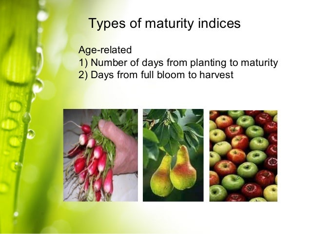 maturity of fruits and vegetables and The maturity of a fruit or vegetable at harvest, whether physiological or horticultural, is a very important factor that determines the storage life as well as the final quality of the product harvesting immature fruits increases the risk to shriveling, mechanical damage and low quality when ripe.