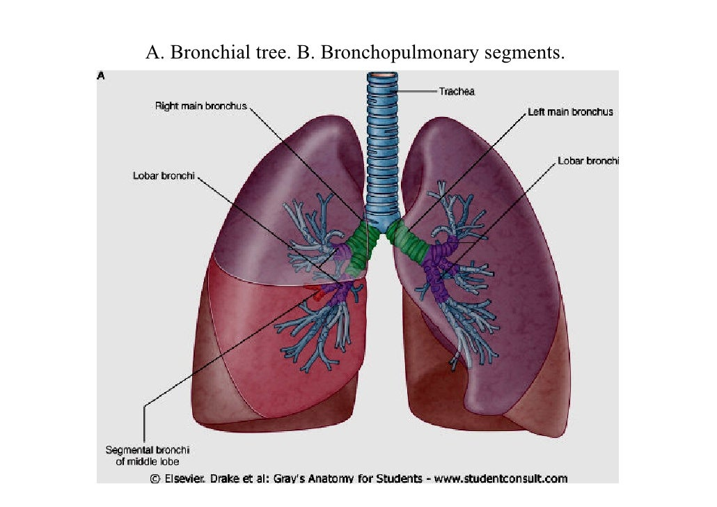 Lecture 3 lungs pleura bronchopulmonary segments are numbered and named 27 bronchopulmonary segments a right lung ccuart Images
