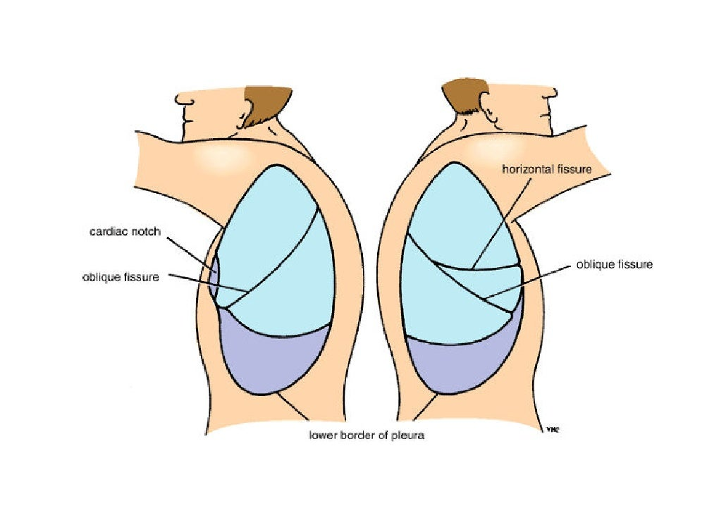 Lecture 3 lungs & pleura